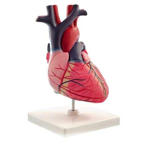 HEINESCIENTIFIC Anatomisches Modell des menschlichen Herzens 2 ...