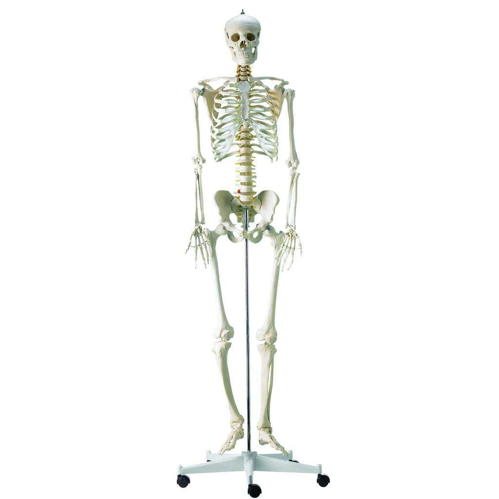 HEINESCIENTIFIC Komplettes menschliches Skelett | meddax24.de